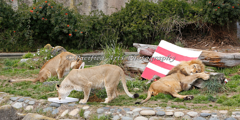 Both of the female African Lions are very busy with their treats, during the Cat in the Hat event.  Jahari has something to rub himself in, and he appears to love it!