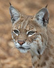 Here's Inti, the Bobcat