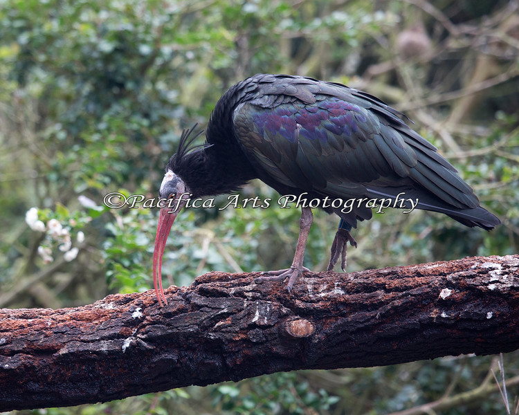 Waldrapp Ibis, searching for bugs in the bark of the branch