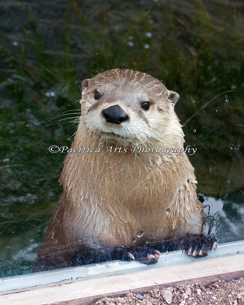 North American River Otter, Trent, pops up at the window for a visit.