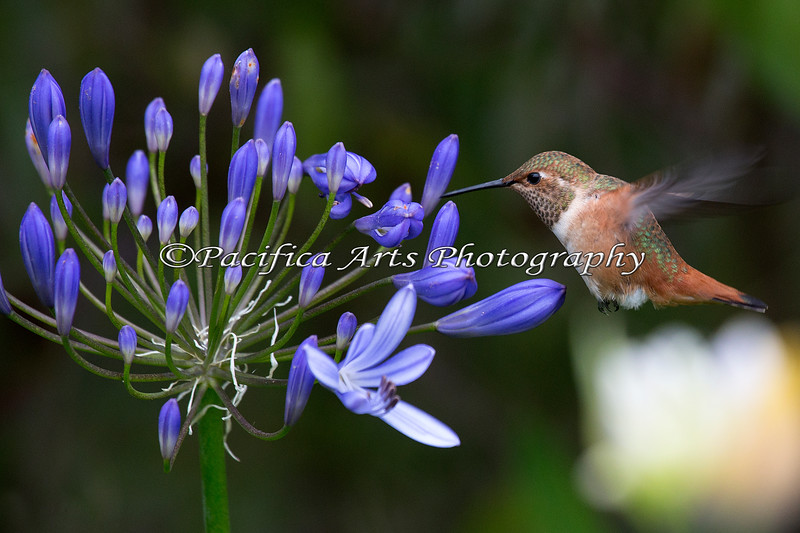Allen's Hummingbird on a Lily of the Nile flower