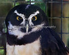 """Spooktackled Owl""   (Spectacled Owl)"
