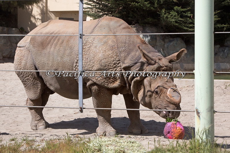 """Greater One-horned Rhinoceros, Gauhati, finds a treat in his Easter egg for """"Big Bunny's Spring Fling"""" at the Zoo"""