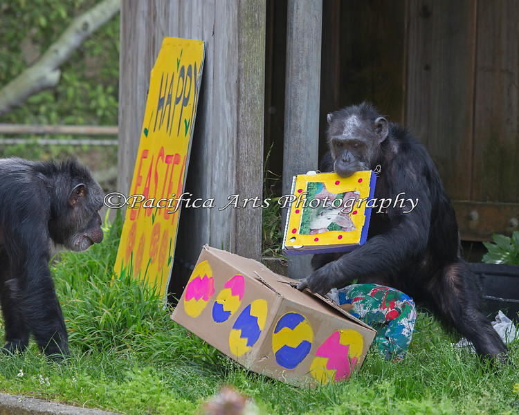 Maggie is gathering as many treat boxes as possible, while Minnie looks on.  (Maggie prefers to eat her treats indoors, so she took them all inside) (Chimpanzees)