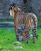 """""""Cub Camouflage""""  (Sumatran Tiger, Leanne & her cub, Jillian)"""