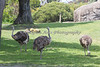 Three young Ostriches - newcomers to the African Savannah