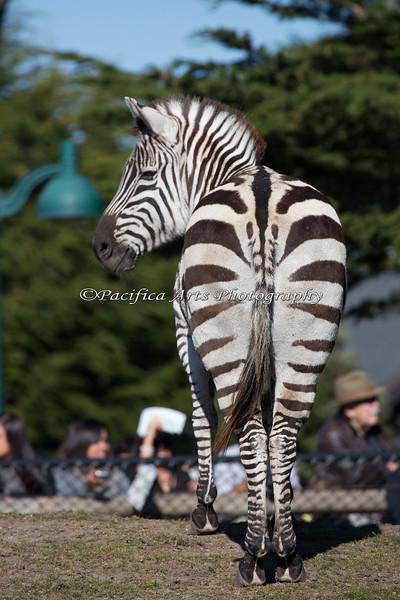 Grant's Zebra (SFZoo)