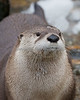 Trent, a North American River Otter is very rarely still.