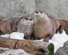 Pescita & Trent are great chums. (North American River Otters)