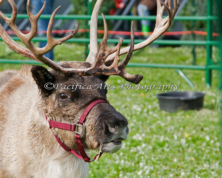 The Reindeer are back! (They are all guys by the way - steers actually)