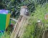 Wow!  I found a box of goodies! (Patas Monkey, female)