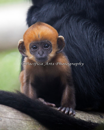 Francois' Langur baby, starting to venture out on its own.