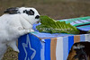 Bunny found some lettuce on top, while a Guinea Pig finds treats inside.