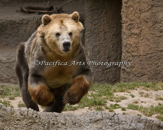 """Kachina"", a female Grizzly Bear, running around her night exhibit.  The keepers let them out into the large grassy area in the morning, and she can't wait to go fishing in the pool there."