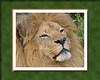 A little photoshop fun with matting/borders.  This is Tunya, an African Lion.