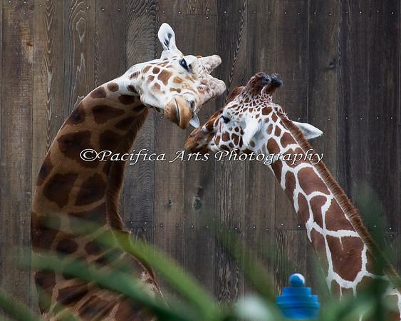 Reticulated Giraffes.  Floyd/Sam making goo-goo eyes at one of the females, Carolina.