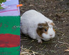 """I'm pretty sure this is """"Annie"""" a female Guinea Pig.  All the guinea pigs enjoyed running in and out of their decorated boxes with goodies hidden inside."""