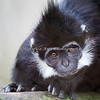I think you look funny too! (Francois' Langur).  I'm pretty sure this is Chuy, the adult male.