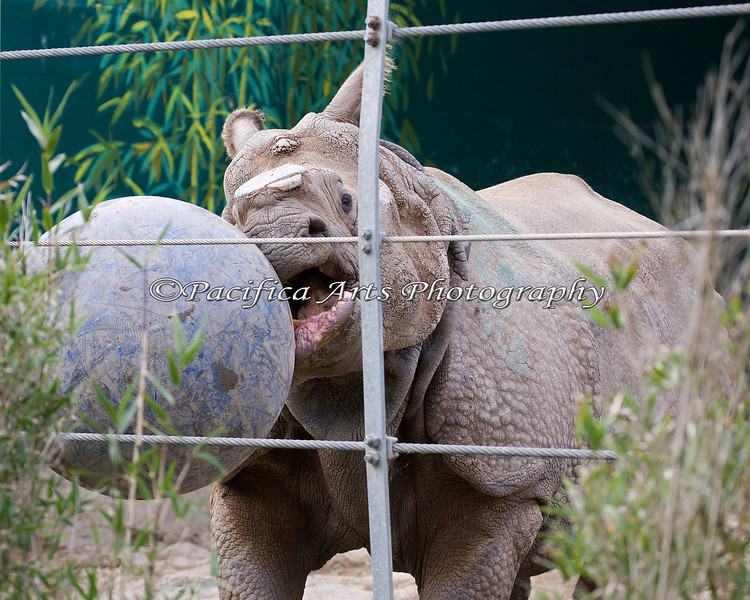This guy plays ball! (Gauhati, a Greater Indian Rhinoceros)