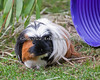 Long haired Guinea Pig.  Love that hair!