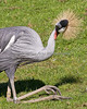 """You look funny, too!"" (African Crowned Crane)"