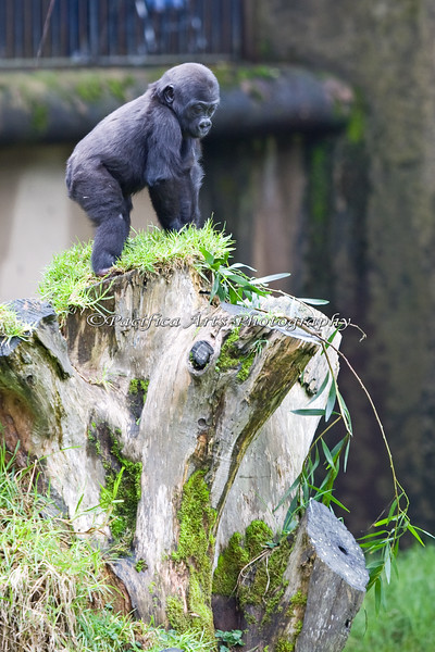 This is the first time I've seen Hasani make it all the way to the top of the stump.