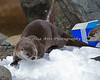 These two North American River Otters are searching for the treats buried in the snow.