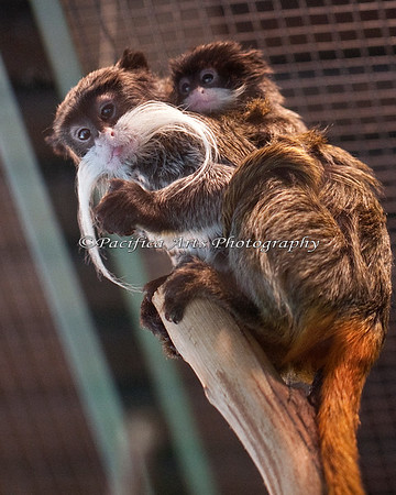Baby Emperor Tamarin with parent.  Both the Mom and the Dad carry them around.