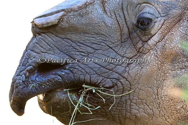 Eyelashes on a Greater Indian Rhinoceros (Gauhati)