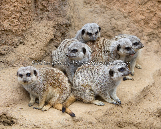 "Meerkats, ""The Gang"""