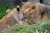 African Lions, Amanzi & Jahari, cheek to cheek.