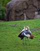 It appears to be courtship time for the African Crowned Cranes.