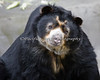 This is Wishbone, an Andean or Spectacled Bear.  Isn't he cute?!
