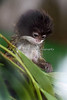 A baby Emperor Tamarin, inspecting a branch of acacia leaves.