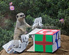 Meerkat with a decorated box, filled with newspaper and hidden mealworms.  Yumm!