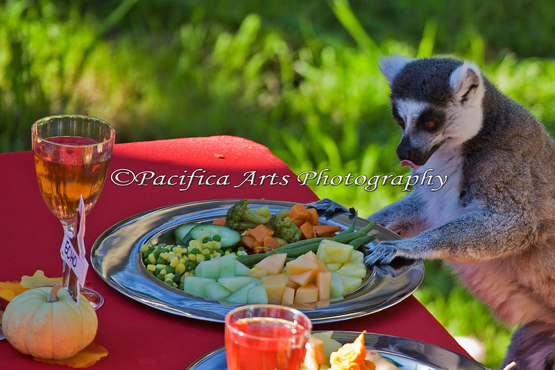 """Wow - delicious!  What shall I eat first?"" (Ring-tailed Lemur)"