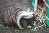 A tasty brocolli flowerette for this little Guinea Pig.