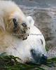 Polar Bear, snoozing among the acacia branches.