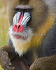 Jesse, a male Mandrill.