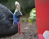 """Slash"", a Cassowary, investigates a Santa Box.  Although the keeper said she loves lettuce, she would not touch this strange looking Santa."