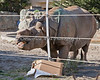 Great Indian Rhinoceros, Gauhati enjoys his special treats in the box.