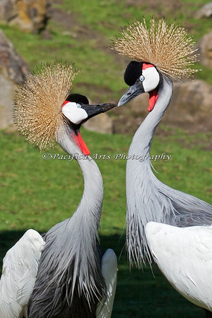 These East African Crowned Cranes perform a very elaborate courtship ritual.