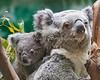 Koala, Zakary & her little joey.