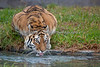 Siberian Tiger, Martha, taking a drink of water.