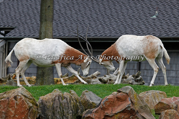 Scimitar-horned Oryx.  I didn't know the females do this, but obviously, they do!