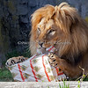 This is my favorite picture of the Lions, tearing open their presents (with those awesome claws)!.  This is Jahari, an African Lion.  There is something good to eat inside the box - and yes, he found it.