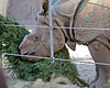 Gauhati, a Great Indian Rhinoceros seems to really like his Christmas tree.