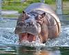 """Brian Wilson"", a Nile Hippopotamus, splashing around in his pool."