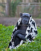 Tallulah, a Chimpanzee, modeling the latest fashion in cow designs.