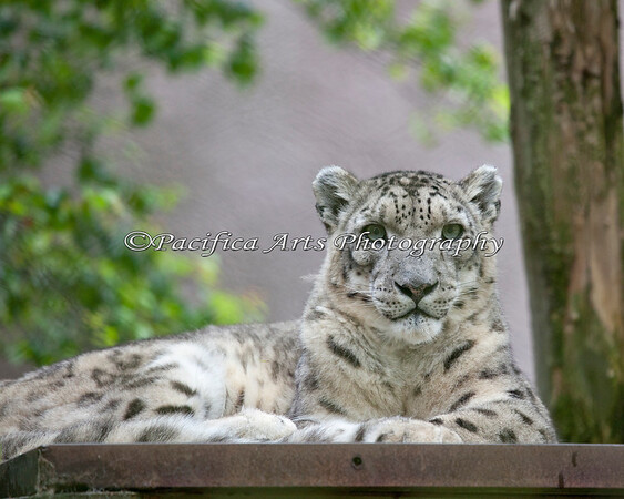 Rigel, a Snow Leopard, taking it easy on his elevated perch.